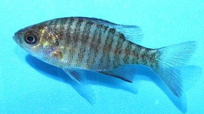 ブルーギル稚魚2